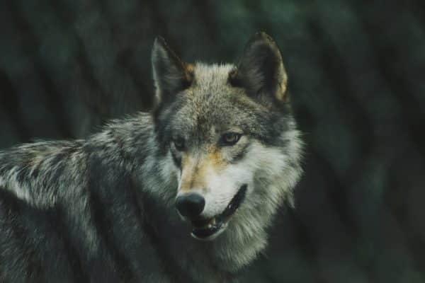 wolves in america